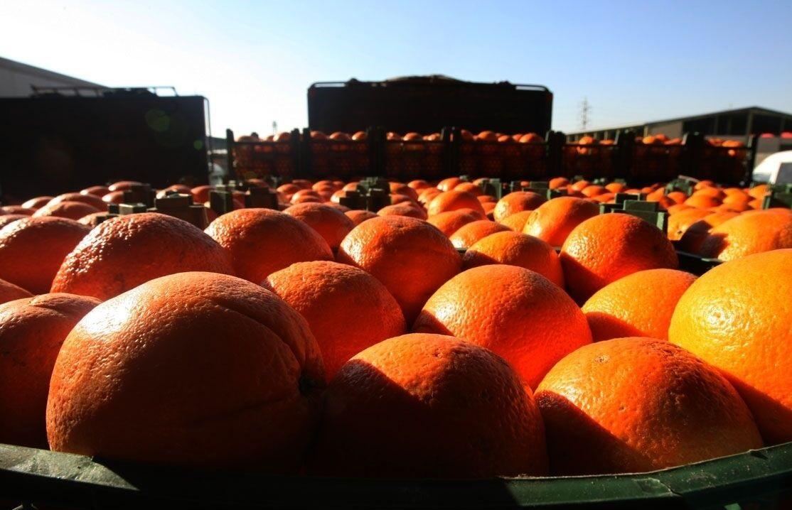 صادرات میوه اسیر سودجویان