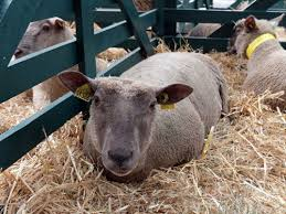 in Tehran: Six Sheep Breed were Introduced