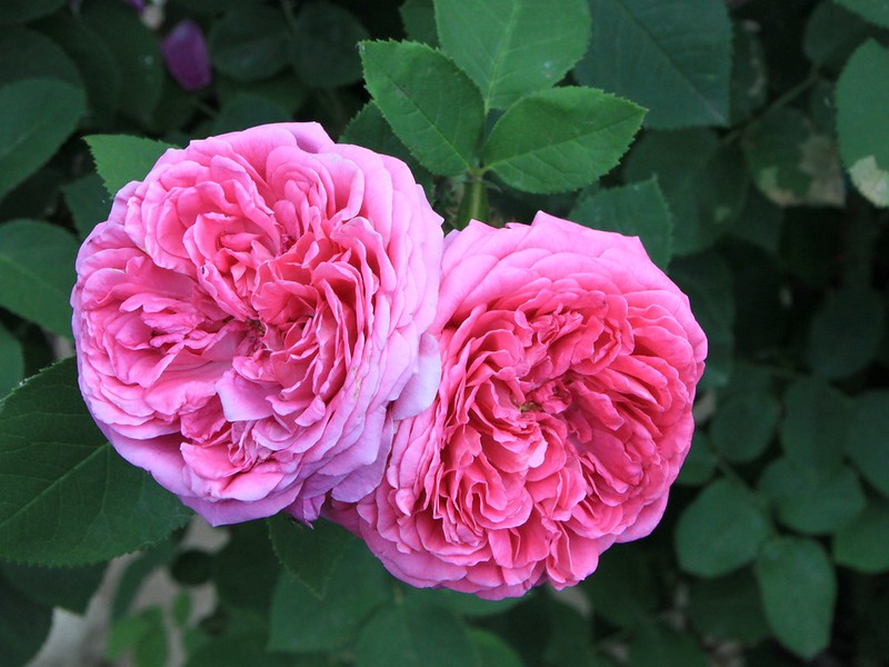 Agriculture In Iran: Iran produces and exports 70% of the world's demand for Damask Rose (Gole Mohammadi) and this year alone, they have produced over 60 thousand tons of this flower.
