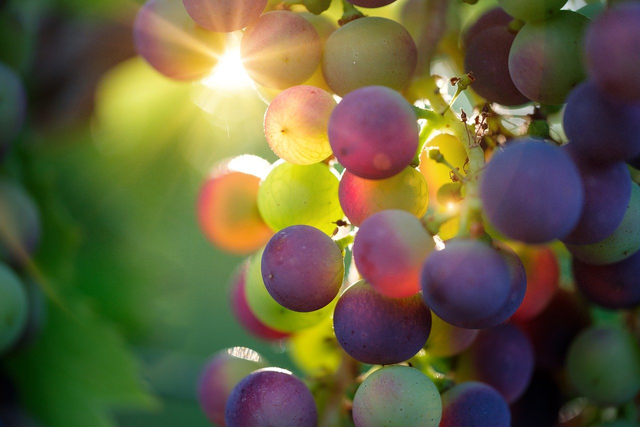 Malayer's Grapes has now received global recognition and standard thanks to the local university and the experts' agricultural research and development efforts.