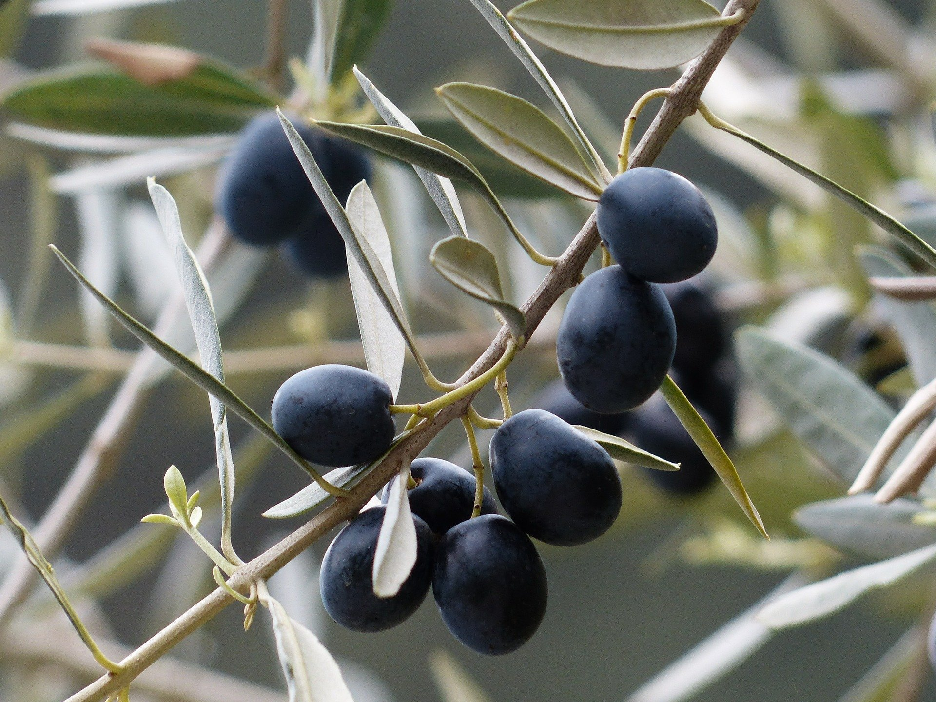 Improvement of 11.7 thousand hectares of olive groves with financial support of 250 billion Rials ($ 5.9 million) in 2020