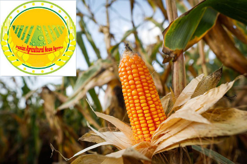 iranian agricultural news agency:Wheat and corn prices under pressure